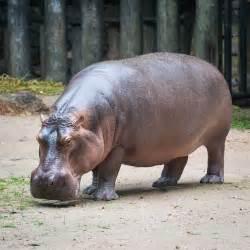 why is a hippopotamus called a river horse pitara kids