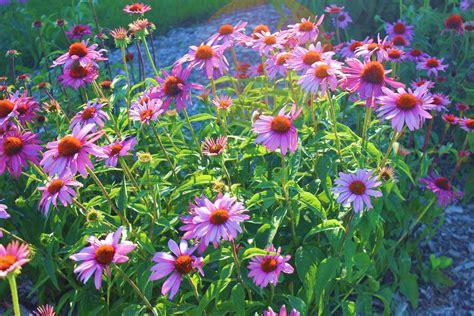 top 10 perennials steinbrink landscaping greenhouses
