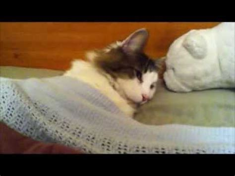 tuck into bed sleepy cat is tucked into bed funny youtube