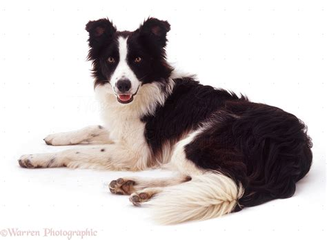 collie dogs border collie lying photo wp09400