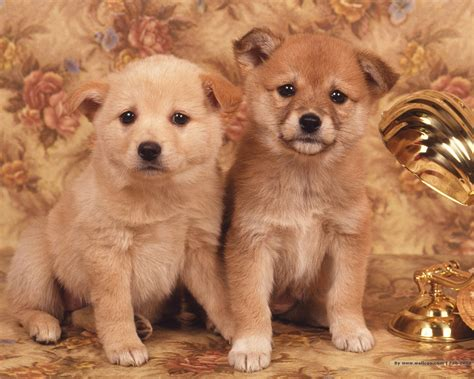 wallpaper background puppies 50 cute dogs wallpapers dog puppy desktop wallpapers