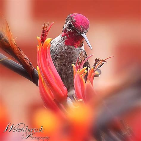 500 best images about hummingbirds on pinterest baby