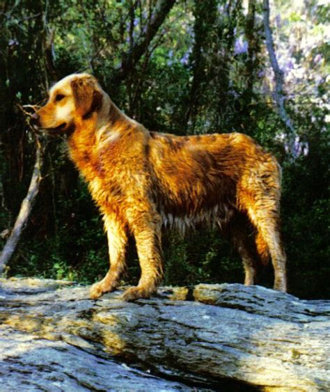 lifespan of a golden retriever lifespan of a golden retriever lifesgoldenmoments