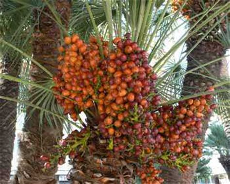 what is a of fruit trees called dates in portuguese whatiscalled