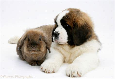 puppy bernard puppy st bernard puppies puppy