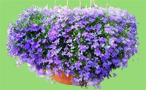 lobelia fiore lobelia lobelia erinus lobelia erinus piante annuali