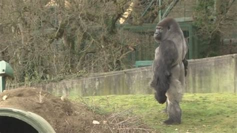 silverback gorilla bench press how much could a gorilla squat and deadlift