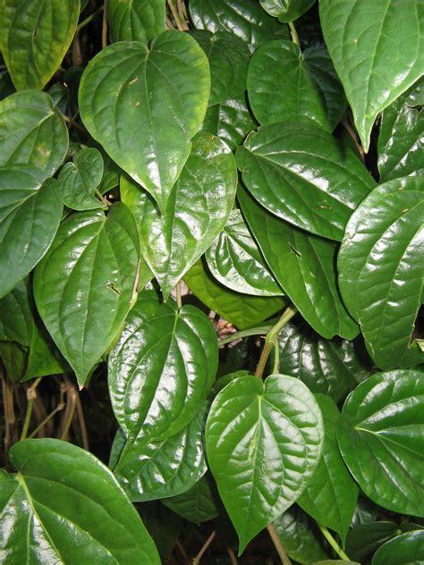 khasiat daun sirih rizal mulyadi