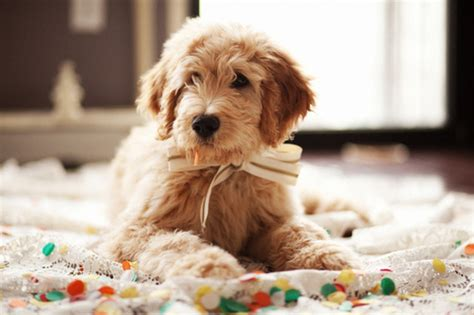 breed that looks like a teddy pet dogs cats fishes and small pets teddy breed images pets world