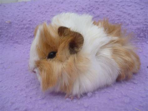 guinea pug baby guinea pigs