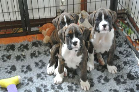 boxer puppies for sale colorado boxer puppies for sale gunnislake cornwall pets4homes