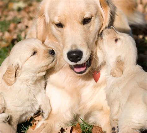 where are golden retriever dogs from wallpapers hd wallpapers golden retriever puppies