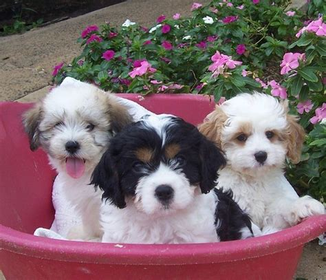 fluffy puppies for sale 25 best ideas about maltese poodle puppies on maltese poodle maltese