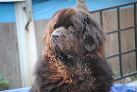 large fluffy breeds big brown fluffy breeds car tuning breeds picture
