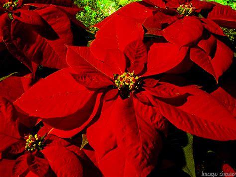 Imagenes Flores De Nochebuena | im 225 genes de nochebuena imagui