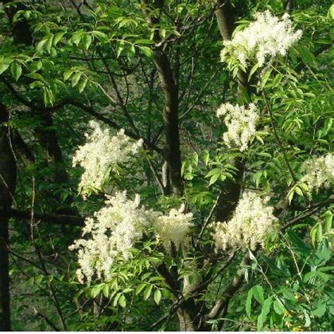 albero con fiori bianchi albero con fiori bianchi foto dei fiori e delle piante