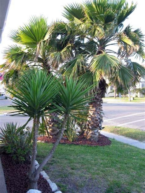 garten yucca umpflanzen yucca palme 26 fantastische bilder zur inspiration