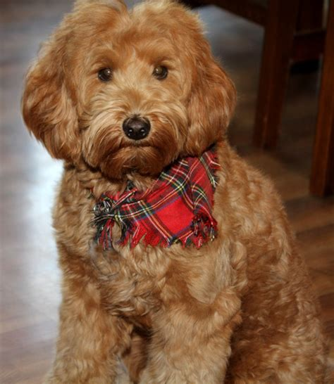 best recomendatuons for haircuts for goldendoodles labradoodle grooming and how to communicate with your