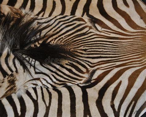 zebra pattern unique zebra print stock image image of striped pattern unique
