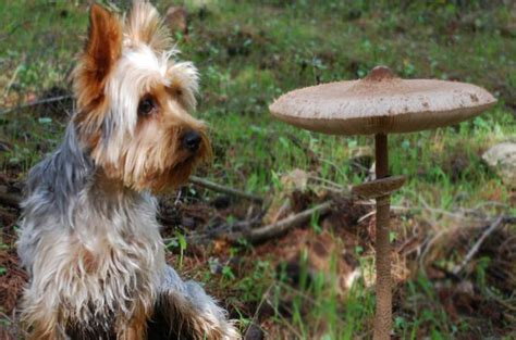 can dogs eat mushrooms can dogs eat mushrooms list of mushrooms that are safe for dogs
