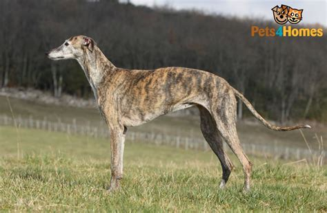 greyhound breed information facts photos care