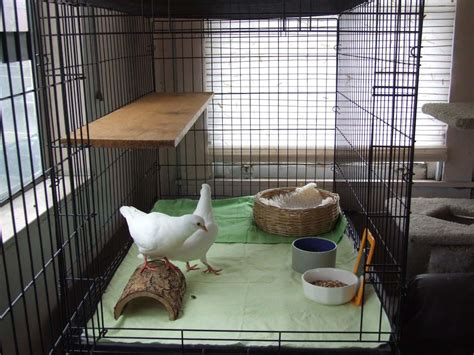 care   rescued pet pigeon  newbies