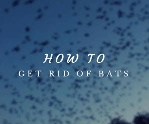 how to get a bat out of the house how to get rid of bats get bats out 877 264 2287