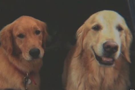 save a golden retriever baxter heroic golden retriever helps save after both were lost for 2 weeks