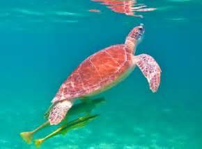 beautiful images beautiful turtles picture of akumal akumal