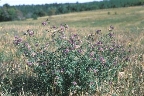 semina erba giardino erba medica perenni coltivazione erba