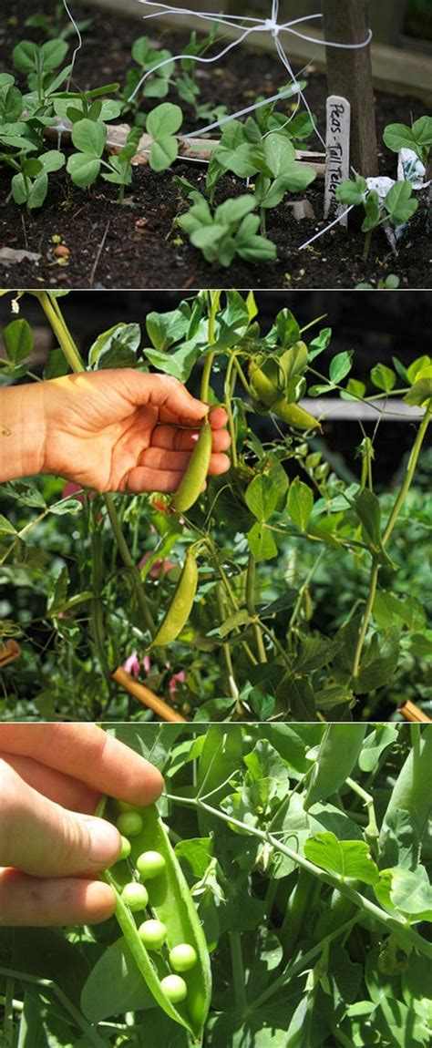When To Plant Your Garden by How To Plant Peas In A Garden