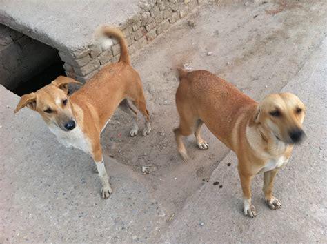 dogs india india 2011 dogs atul rana