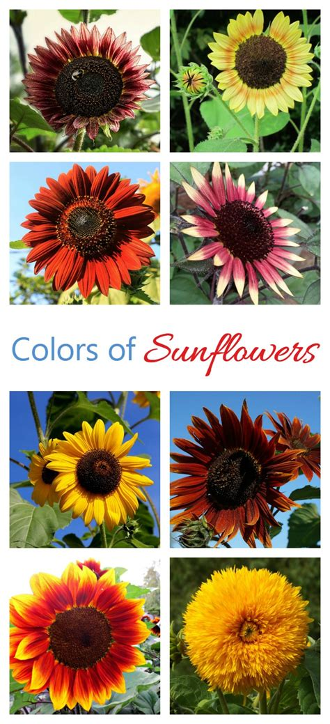 colors of sunflowers growing sunflowers how to grow and care for sunflower