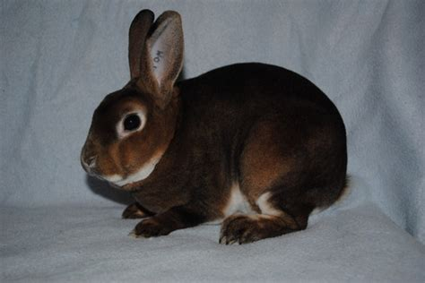 mini rex breaking dawn rabbitry