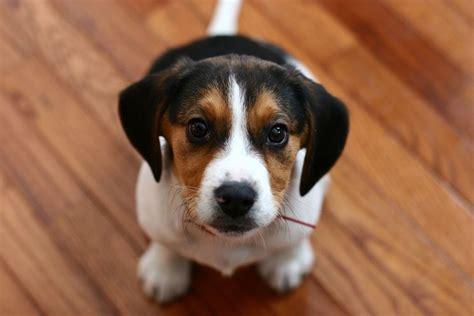 alimentazione cuccioli di alimentazione beagle cani taglia media cosa mangia il