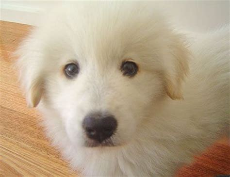 samoyed golden retriever mix the world s catalog of ideas