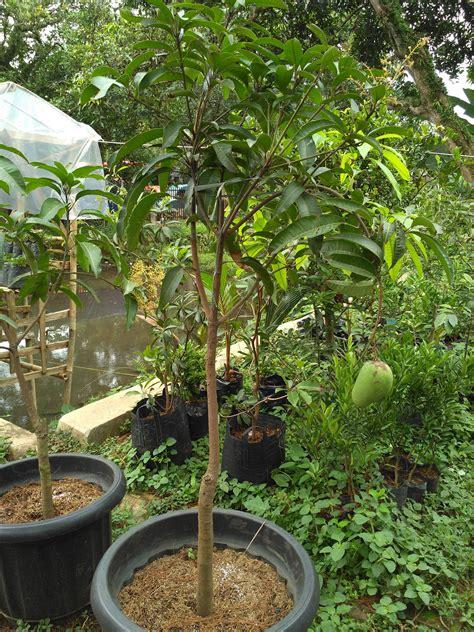 Bibit Mangga Alpukat Yogyakarta jual bibit buah jambu jamaika varietas unggul di