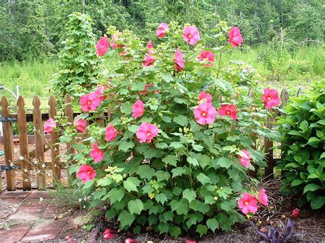hibiscus garten hibiscus hibiscus plant hmm i m liking this idea a lot
