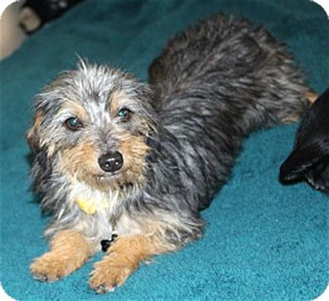 yorkie dachshund dachshund yorkie terrier mix for adoption in temecula images frompo