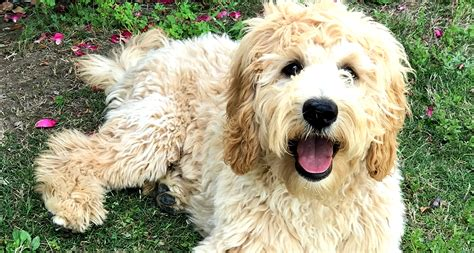 Goldendoodle Puppies Gorgeous Goldendoodles