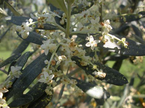 fiore olivo per una fioritura ci vuole tanta luce olivo e olio