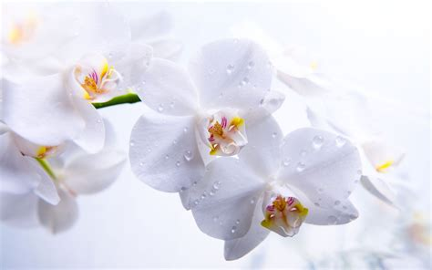 orchid wallpaper hd   pixelstalknet