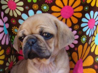 pugs for sale geelong for sale puggles 3 4 pugs males and females adorable