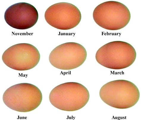 can you color brown eggs marans club australia