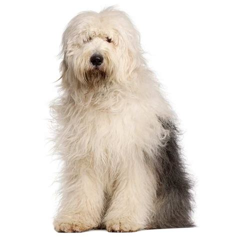 Sheepdog Shedding by Sheepdog Sheepdog Pet Insurance