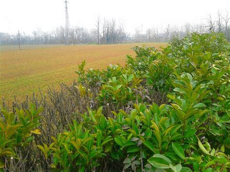 potatura piante da giardino lauro piante da giardino