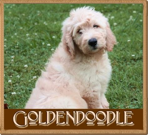 mini goldendoodles health issues goldendoodle problems images