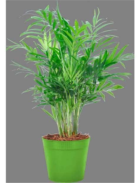 Als Zimmerpflanze zimmerpflanze 187 bergpalme 171 hagebau de