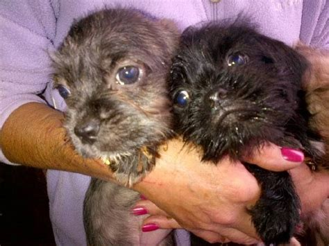 poodle x pug pug x poodle puppies hockley essex pets4homes