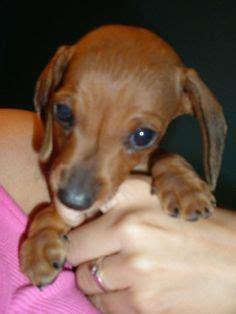 half golden retriever half dachshund for sale half dachshund half golden retriever breeds picture
